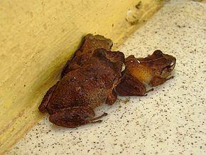 Eleutherodactylus martinicensis httpsuploadwikimediaorgwikipediacommonsthu