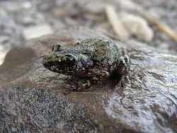 Eleutherodactylus pipilans httpsuploadwikimediaorgwikipediacommonsthu