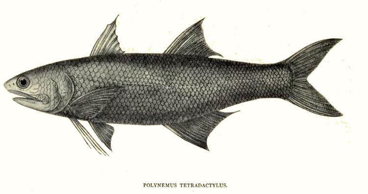 Eleutheronema tetradactylum Eleutheronema tetradactylum Wikipedia