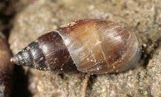Ellobiidae Ellobiidae Discover Life