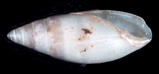 Ellobiidae Ellobiidae auriculaira melampus pedipes laemodonta tralia de l