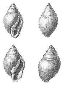 Ellobiidae httpsuploadwikimediaorgwikipediacommonsthu