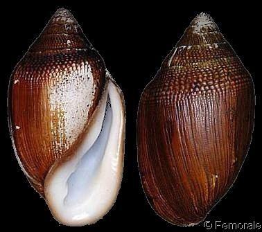 Ellobium Ellobium Ellobium aurismidae