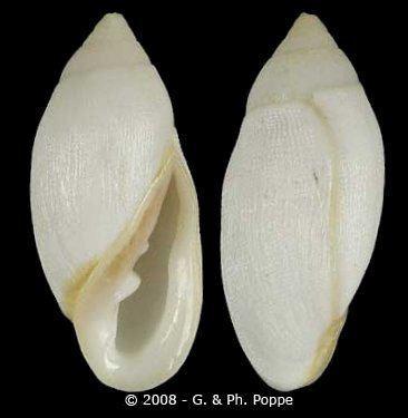 Ellobium Ellobium Ellobium aurisjudae