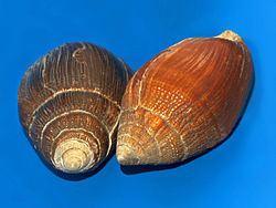 Ellobium aurismidae httpsuploadwikimediaorgwikipediacommonsthu