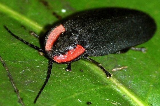 Ellychnia Ellychnia californica California Glowworm Ellychnia californica