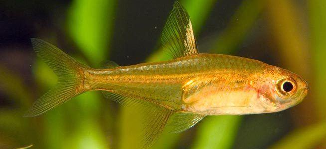 Ember tetra Fish profile Ember Tetra
