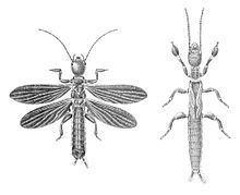 Embioptera httpsuploadwikimediaorgwikipediacommonsthu