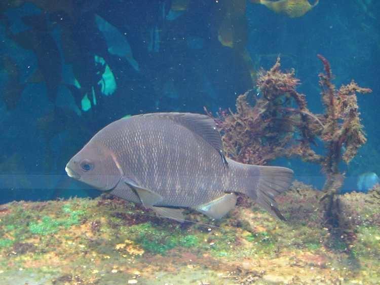 Embiotoca jacksoni Monterey Bay Aquarium