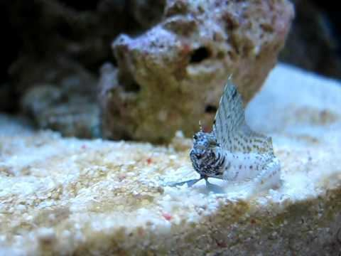 Emblemaria pandionis Sailfin Blenny Emblemaria Pandionis Reborn Aquarium YouTube