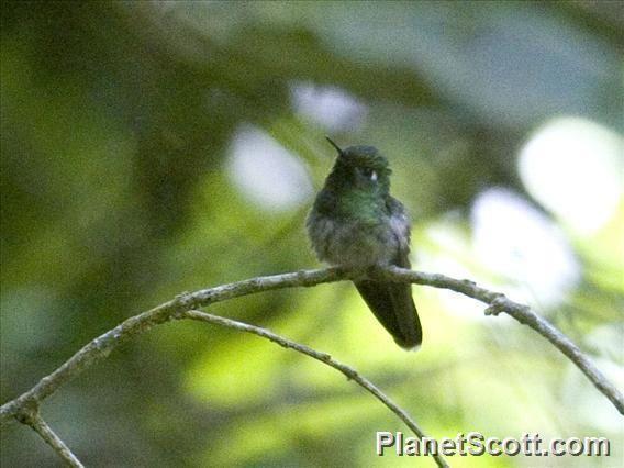 Emerald-chinned hummingbird wwwplanetscottcomimg4803largeemeraldchinned