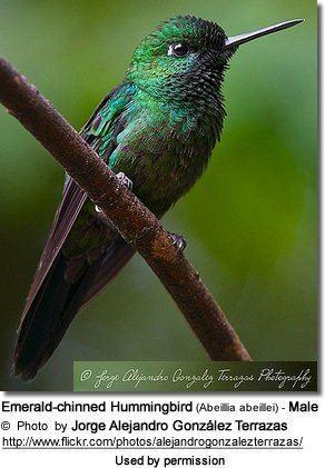 Emerald-chinned hummingbird Emeraldchinned or Abeille39s Hummingbirds Abeillia abeillei