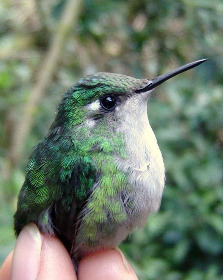 Emerald-chinned hummingbird BirdsEye Photography Review Photos