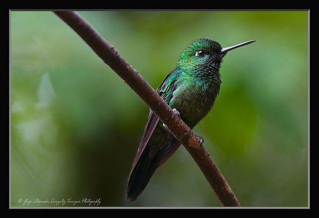 Emerald-chinned hummingbird Emeraldchinned Hummingbird Abeillia abeillei Alejandro Gonzalez T