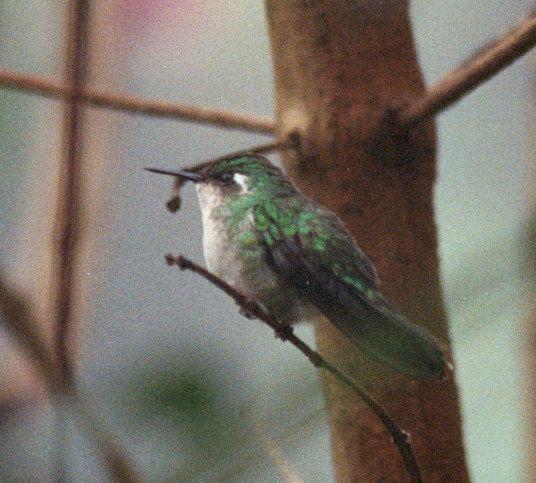 Emerald-chinned hummingbird Emeraldchinned Hummingbird BirdForum Opus