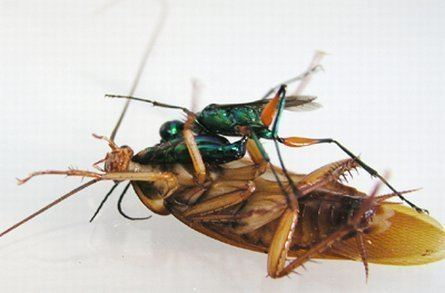 Emerald cockroach wasp Real Monstrosities Emerald Cockroach Wasp