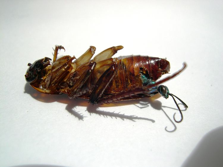 Emerald cockroach wasp Absurd Creature of the Week The Wasp That Enslaves Cockroaches With