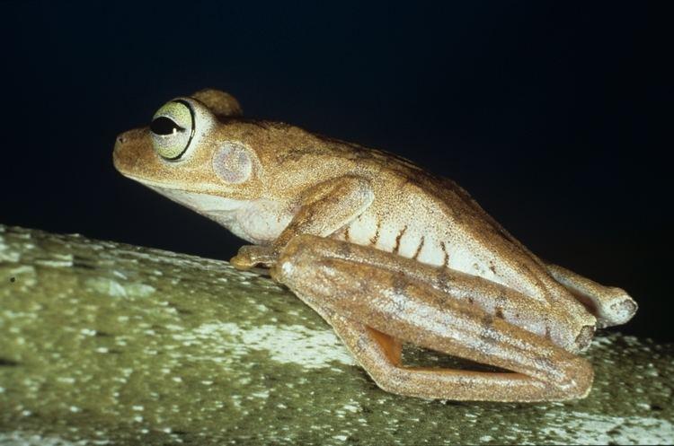 Emerald-eyed tree frog biogeodbstrisiedubioinformaticsdfmfilesfiles