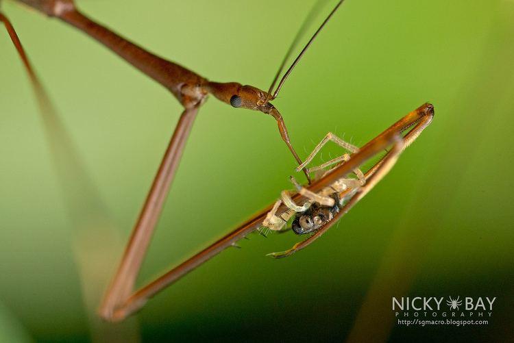 Emesinae ThreadLegged Assassin Bug Emesinae DSC2592 Captured