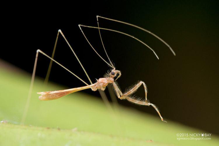 Emesinae Threadlegged assassin bug Emesinae DSC2331 Nicky Bay Flickr