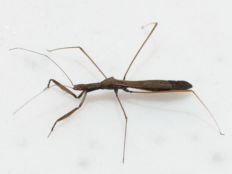 Emesinae Subfamily Emesinae Threadlegged Bug bugguidenetnodev Flickr
