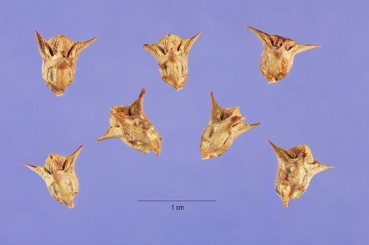 Emex australis Emex australis Wikipedia