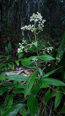 Emmeorhiza httpsuploadwikimediaorgwikipediacommonsthu