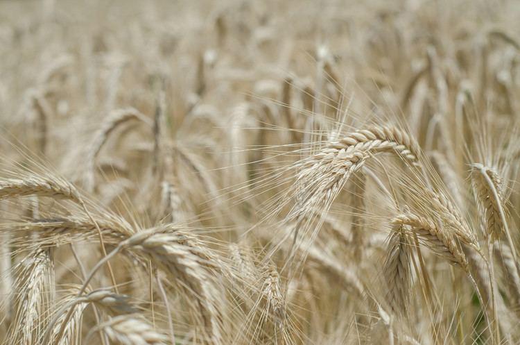 Emmer Good Questions Einkorn Spelt Emmer Farro and Heirloom Wheat