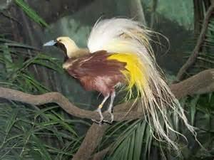 Emperor bird-of-paradise More on Paradisaea guilielmi Emperor BirdofParadise