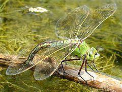 Emperor (dragonfly) httpsuploadwikimediaorgwikipediacommonsthu