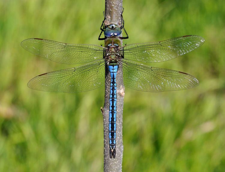 Emperor (dragonfly) Emperor dragonfly Wikipedia