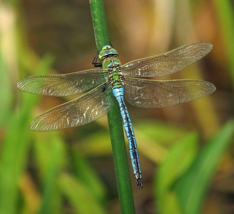 Emperor (dragonfly) Hedgeland Tales Emperor dragonfly