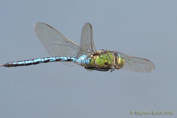 Emperor (dragonfly) Emperor Dragonfly britishdragonfliesorguk