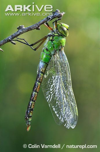 Emperor (dragonfly) Emperor dragonfly photo Anax imperator A24165 ARKive