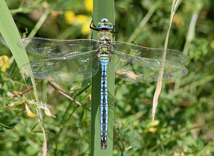 Emperor (dragonfly) emperormgalleryjpg