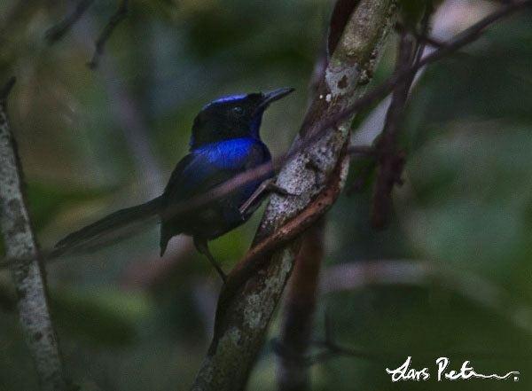Emperor fairywren Emperor Fairywren West Papua New Guinea Bird images from
