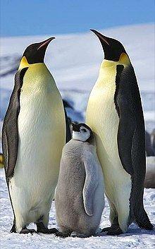 Emperor penguin httpsuploadwikimediaorgwikipediacommonsthu