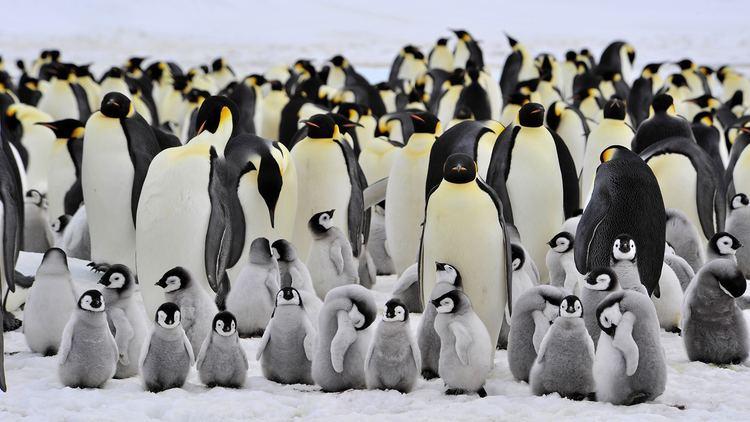 Emperor penguin Emperor Penguin
