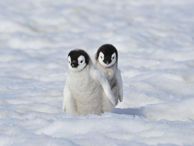 Emperor penguin Emperor Penguin Penguin Facts and Information