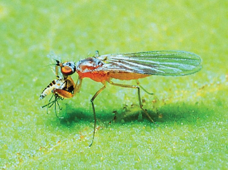 Empididae Empididae Zurqui AllDiptera Biodiversity Inventory