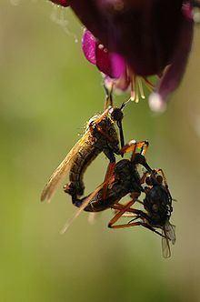 Empididae httpsuploadwikimediaorgwikipediacommonsthu