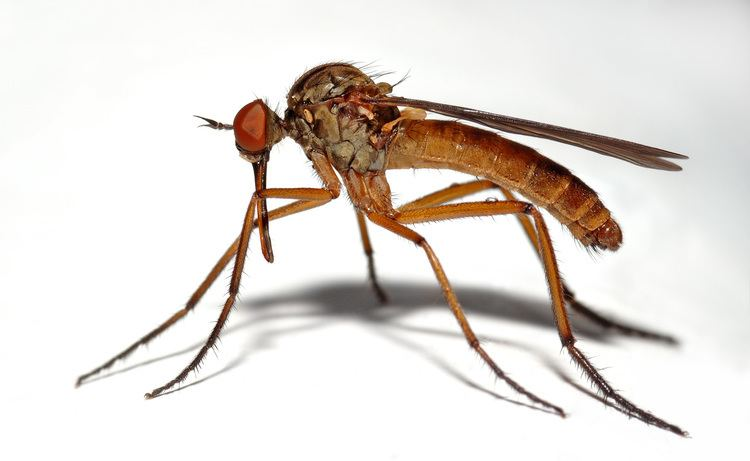 Empididae Empididae Wikipedia