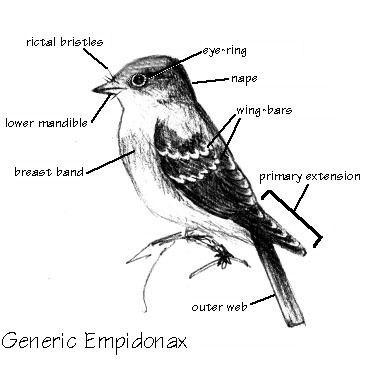 Empidonax wwwpacifiercommpattersarchiveempidflycatche