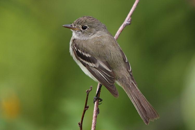 Empidonax Birds of the genus Empidonax Hotspot Birding