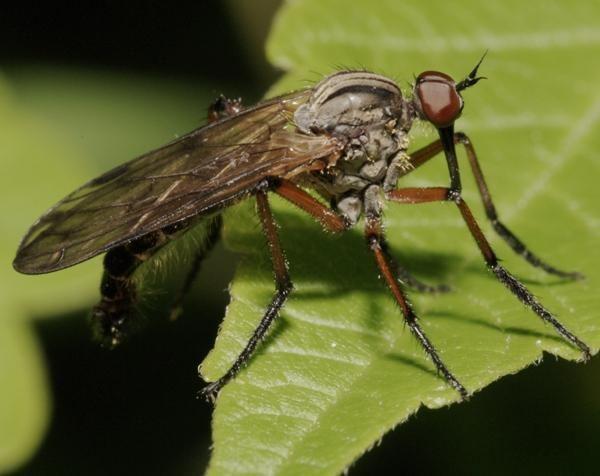 Empis livida Dipterainfo Discussion Forum Empis livida EHU 042010