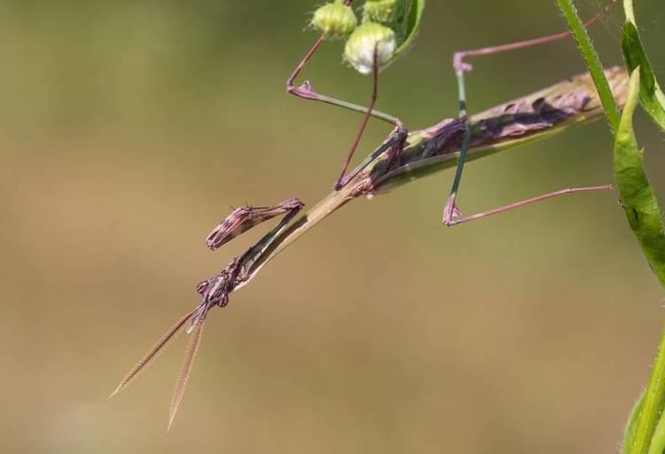 Empusa fasciata 9 of the most absurdlooking mantis species MNN Mother Nature