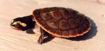 Emydura Redbellied shortnecked turtle Emydura subglobosa by Ellen Nicol