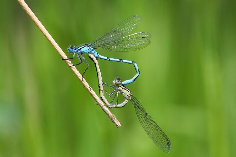 Enallagma cyathigerum Common Blue Damselfly britishdragonfliesorguk