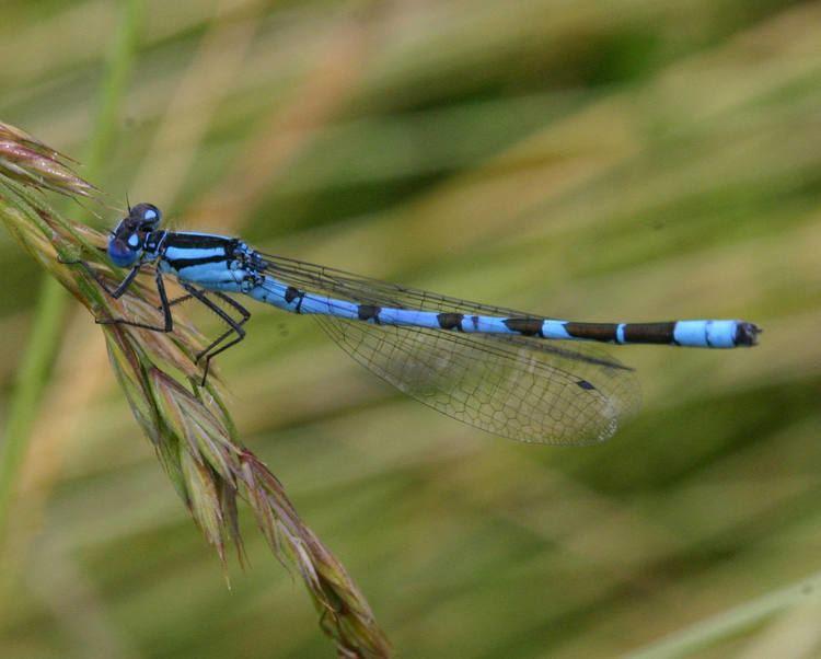 Enallagma cyathigerum Common Blue Damselfly Enallagma cyathigerum NatureSpot