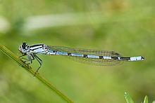 Enallagma cyathigerum httpsuploadwikimediaorgwikipediacommonsthu